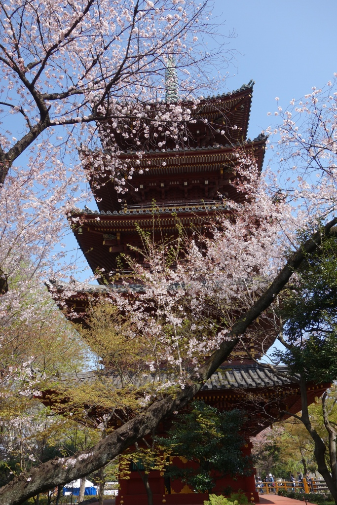 See the incredible Sakura - Japanese Cherry Blossom